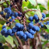Созрел падубный виноград - магония :: Андрей Заломленков