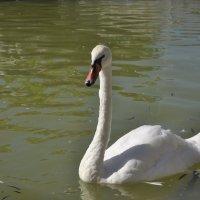 А белый лебедь на пруду... :: Juliya Fokina