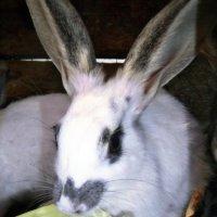 Кролик :: Татьяна Королёва