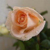 Что говорит нам роза, В букете иль одна? :: Людмила Богданова (Скачко)