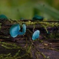 Хлороцибория сине-зеленая . :: Va-Dim ...