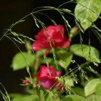 розы :: Светлана ***