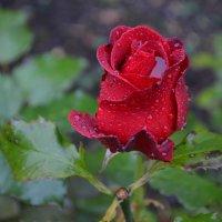 Великие Луки. А розы ещё цветут... :: Владимир Павлов