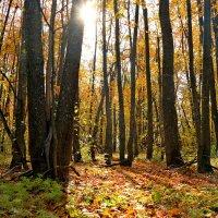 Прозрачен лес осенний.. :: Андрей Заломленков
