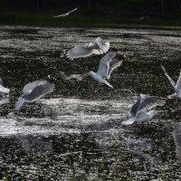 Чайки :: Svetlana Belousova