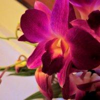 Орхидея :: Наталья Нарсеева