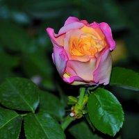Роза :: Виктория Гавриленко