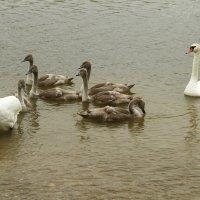 Семья лебедей :: esadesign Егерев