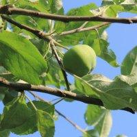 Яблоки на ветке :: Алексей ...