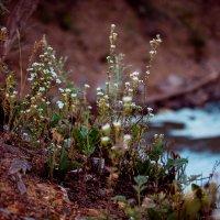 горные цветы :: Beasta