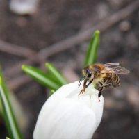 Пчела на крокусе :: Анастасия Брязгунова
