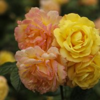 Розы - не удержался... :: esadesign Егерев