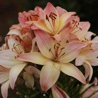 Розовая лилия :: esadesign Егерев