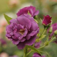 Фиолетовая роза :: esadesign Егерев