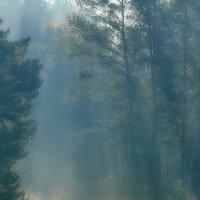 Утро в сосновом лесу :: Сергей Золотухин
