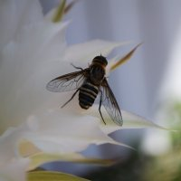 Пчела на кактусе :: Анастасия Веременко