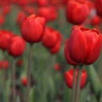 Тюльпаны :: Anton Lavrentiev