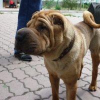 Хозяйский пёс. :: юрий Амосов