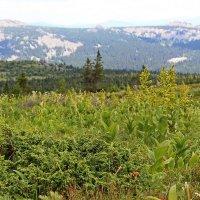 Альпийские луга Южного Урала :: Лада Котлова