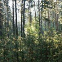 Раннее утро в сосновом лесу :: Kamyshlov Victor