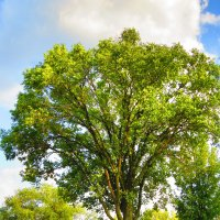 Дерево :: Сергей Солдатенко