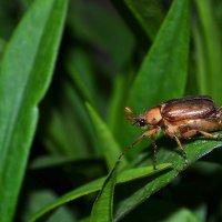 Майский жук :: Виктория Гавриленко