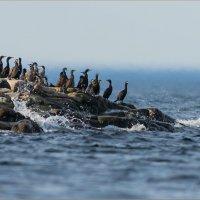 Остров хохлатых бакланов :: Анна Солисия Голубева