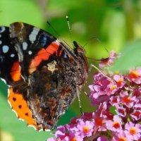 Бабочка :: spm62 Baiakhcheva Svetlana