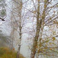 Берёзки в утреннем тумане. :: Людмила Ларина