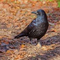 Чёрный ворон :: Анатолий Иргл