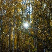 солнышко в деревьях :: Ольга (Кошкотень) Медведева