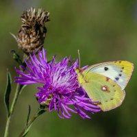 Бабочки цветочки. :: Владимир M