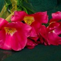 Букет тюльпанов :: Сергей Карачин