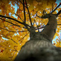 Осень.Клён. :: Ольга Бархатова