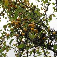 Яблоня ягодная :: Natalia Harries