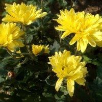 Солнечные хризантемы :: Нина Корешкова