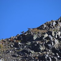горный козел, заповедник Аксу-Джабагылы, Казахстан ЮКО :: Бахытжан