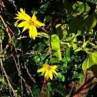 На берегу пруда ещё цветёт арника :: Маргарита Батырева
