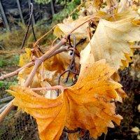 Осенний лист винограда :: Татьяна Королёва