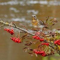 осенний дрозд :: linnud