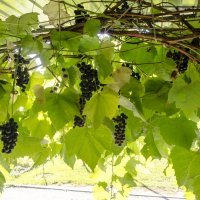 Подмосковный виноград :: Константин Сафронов
