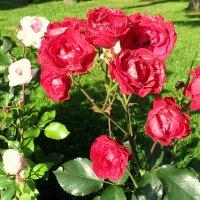 Осенние розы. :: Валентина Жукова