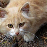 Котёнок :: Светлана
