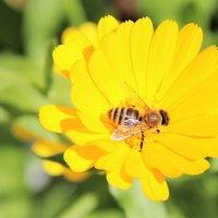 пчела :: андрей шилов