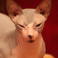 кошка Муся :: maikl falkon