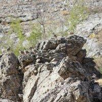 каменные куропатки (кеклик), Казахстан ЮКО :: Бахытжан
