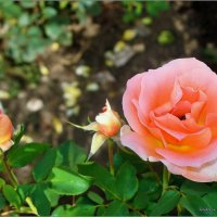 Роза Пятигорска :: °•●Елена●•° Аникина♀