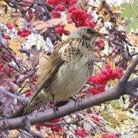 Хороший урожай рябины в этом году - отличное подспорье для птиц на зиму. :: Вадим Синюхин