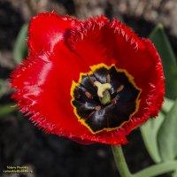 А Вы видели, как грустят тюльпаны? :: Valeriy Piterskiy
