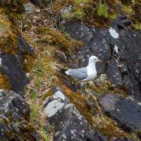 Озерная чайка :: Владимир Лазарев